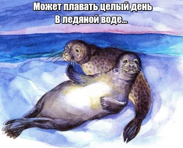 Может плавать целый день в ледяной воде тюлень.