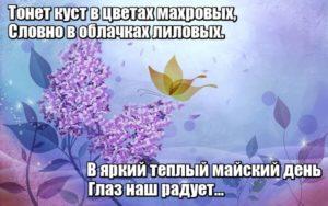 Тонет куст в цветах махровых, Словно в облачках лиловых. В яркий теплый майский день Глаз наш радует…Сирень.