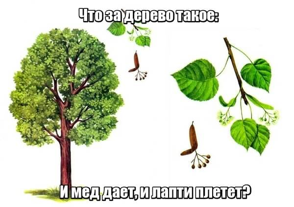 Что за дерево такое: И мед дает, и лапти плетет? Липа