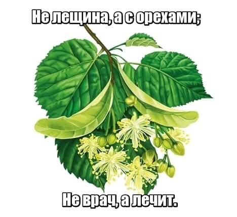 Не лещина, а с орехами; не врач, а лечит. Липа