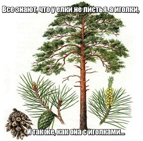 Все знают, что у елки Не листья, а иголки, И так же, как она С иголками… Сосна