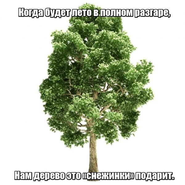 Когда будет лето В полном разгаре, Нам дерево это «Снежинки» подарит. Тополь