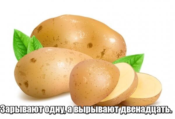 Зарывают одну, а вырывают двенадцать. Картошка.