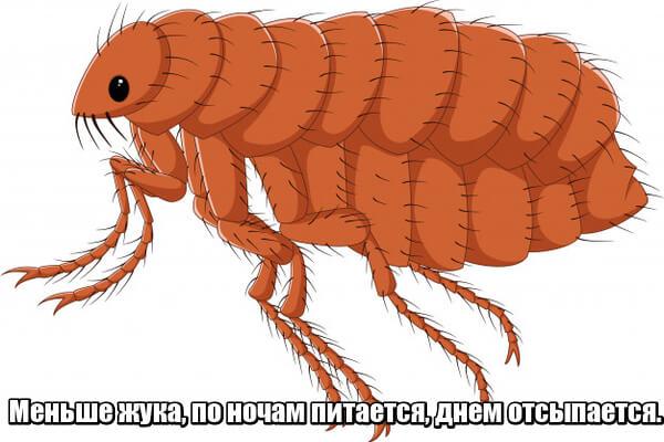 Меньше жука, по ночам питается, днем отсыпается. Блоха.