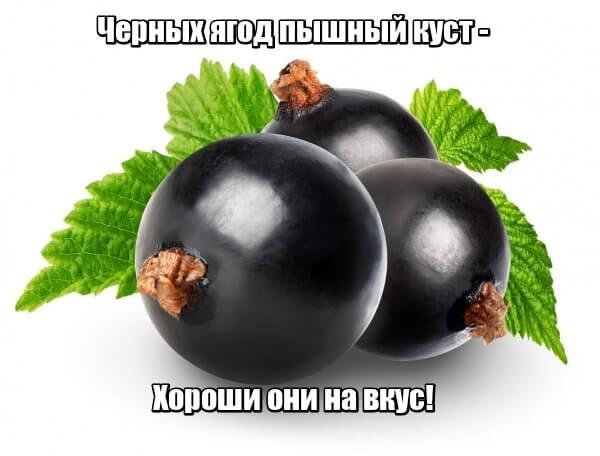 Черных ягод пышный куст - Хороши они на вкус! Смородина.