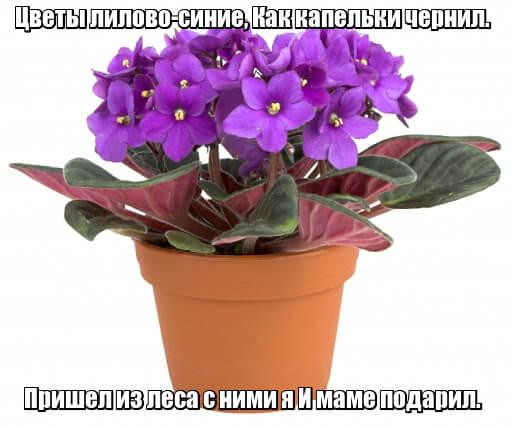 Цветы лилово-синие, Как капельки чернил. Пришел из леса с ними я И маме подарил. Фиалка.