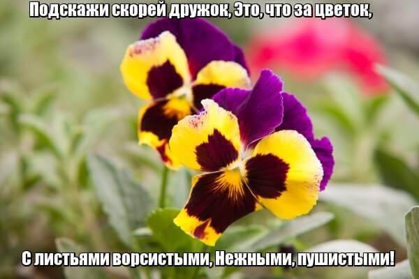 Подскажи скорей дружок, Это, что за цветок, С листьями ворсистыми, Нежными, пушистыми! Фиалка.