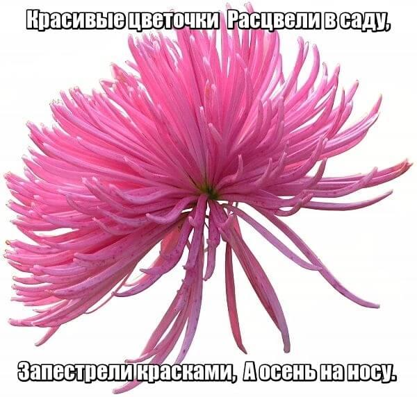 Красивые цветочки Расцвели в саду, Запестрели красками, А осень на носу. Астра.