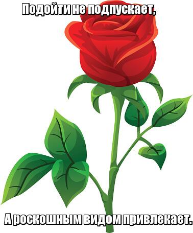 Подойти не подпускает, А роскошным видом привлекает. Роза.