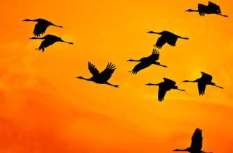Клин журавлей на закате. Загадки про больших птиц.