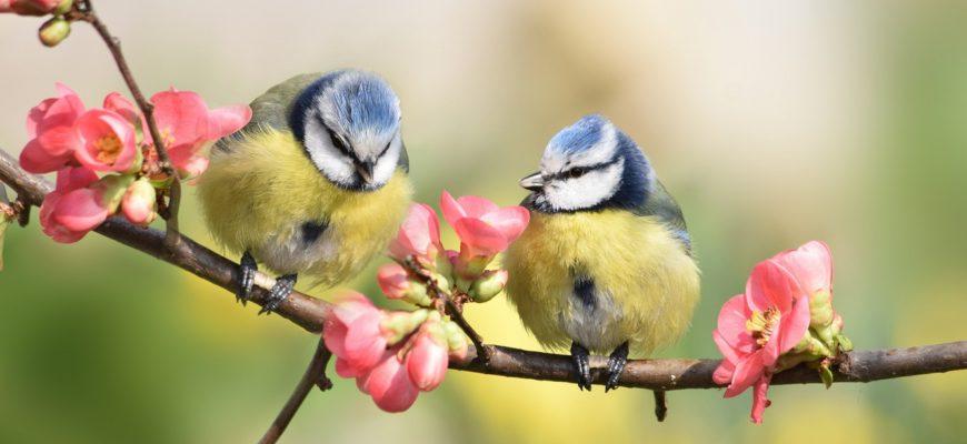Две птички на вишне. Загадки про синичек.